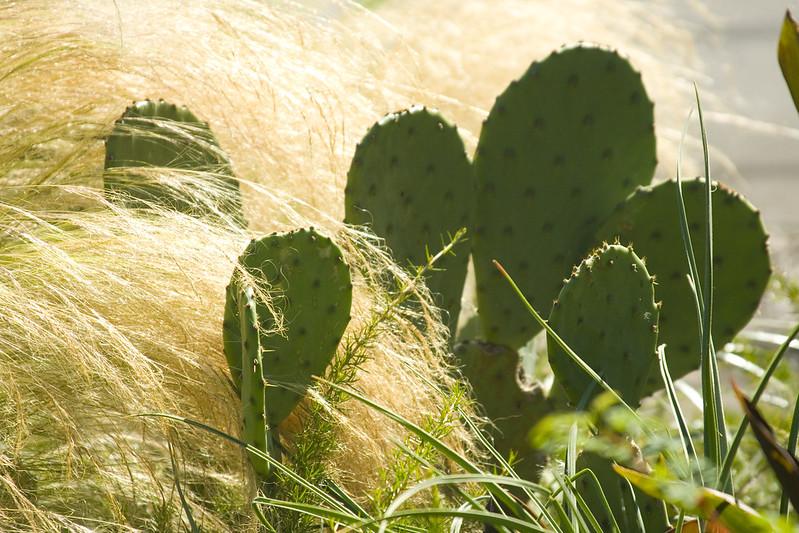 Cactus & Stipa tenuissima