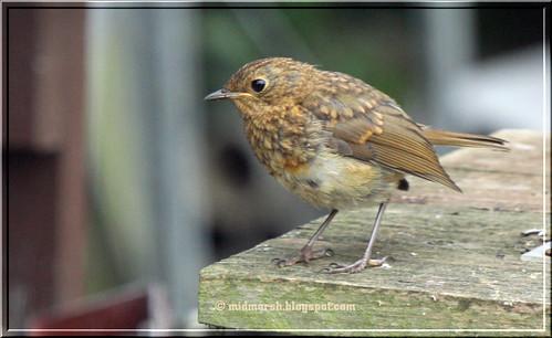 Juvenile Robin 1