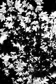 Light on Leaves (B&W)