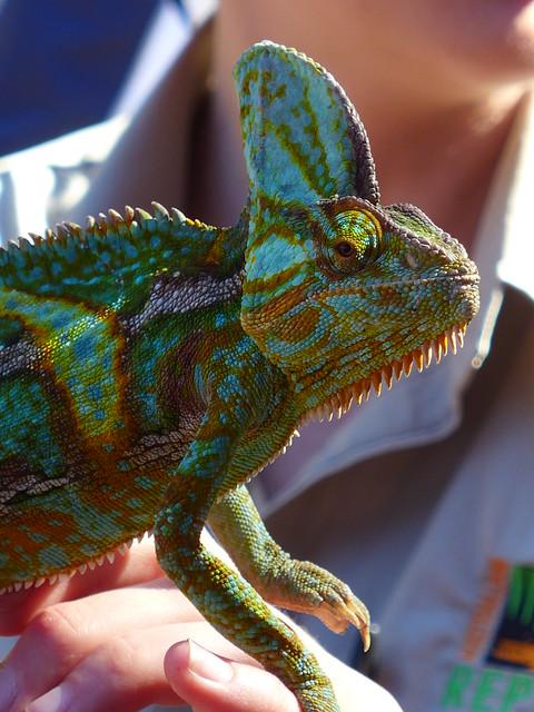 Veiled Chameleon (Green) - Australian Reptile Park, Central Coast NSW, Australia