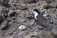 Sooty Tern with hatching chick at Mars Bay
