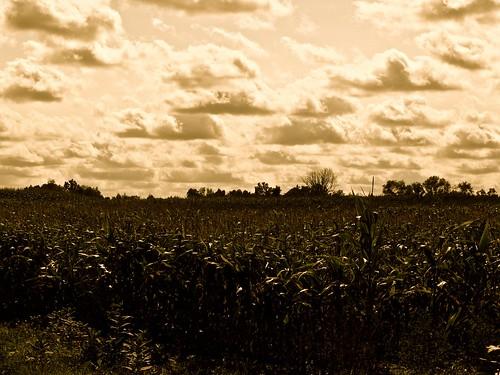 trees sky cloud field clouds corn cornfield cornfields
