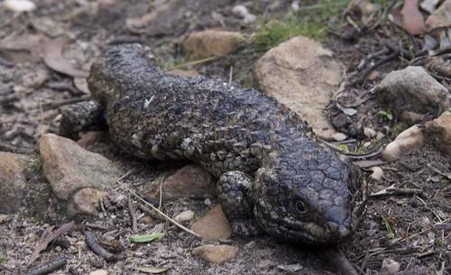stumpy-lizard