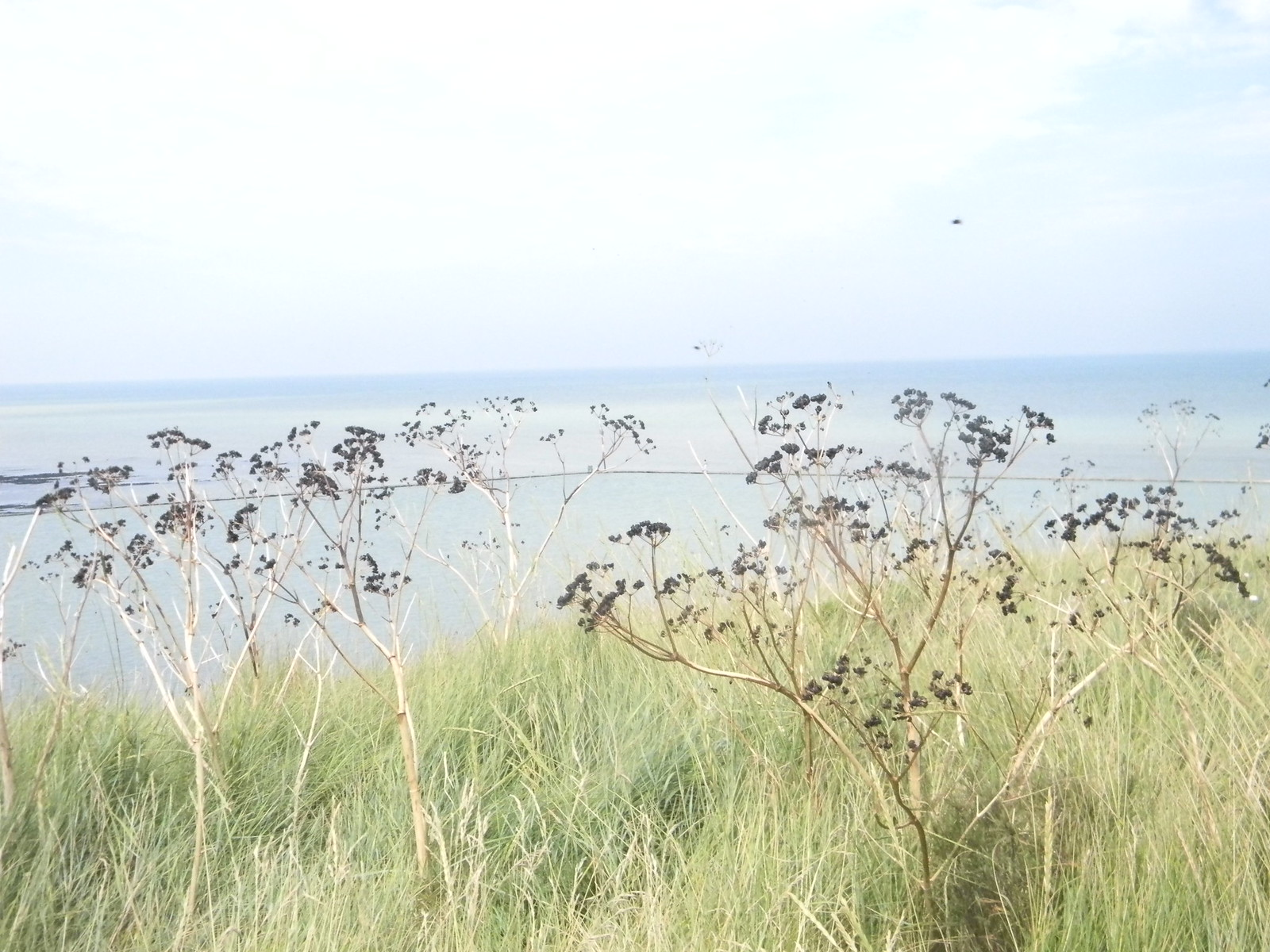 Fennel on the cliff Margate to Broadstairs Broadstairs Folk Week