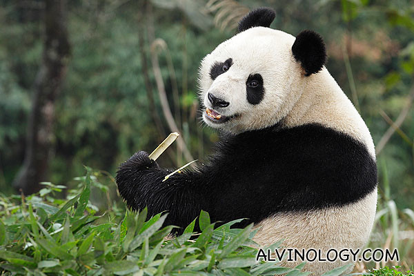 Jia Jia (嘉嘉) - image provided by WRS