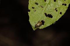 Braungelber Weidenblattkäfer