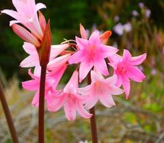 amaryllis belladonna, lily, blossom, flower, plant, wildflower, flora, pink, petal,