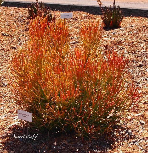 Euphorbia tirucallii 1