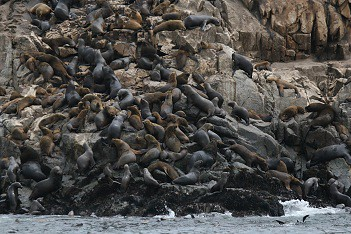 Swimming with sea lions in Peru with Nature Expeditions (8)