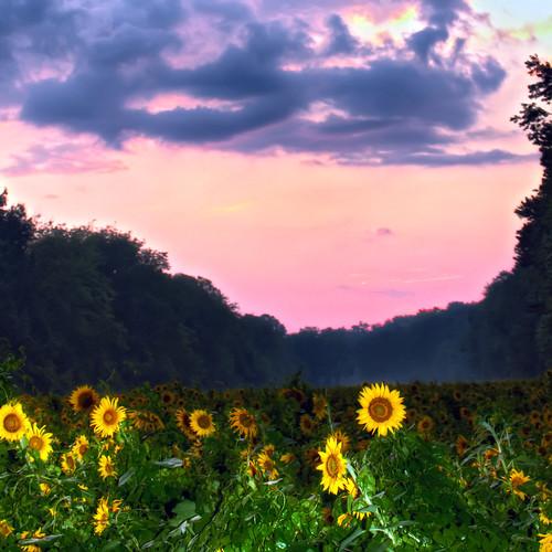 sunset field rain backlight clouds exposure bright bigma maryland single sunflower thunderstorm strobe mckeebesherswildlifemanagementarea canon7d