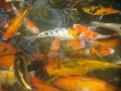 carp(0.0), fish(1.0), fish(1.0), fish pond(1.0), marine biology(1.0), koi(1.0), goldfish(1.0),