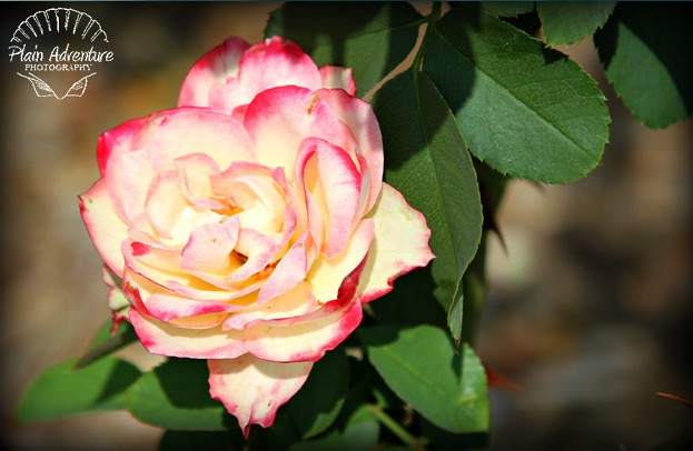 White and Pink Tipped Rose