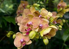 Orchid - Singapore Botanic Gardens