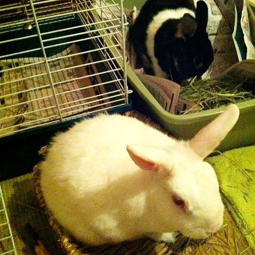 My bunnies Oreo and Jumbles.