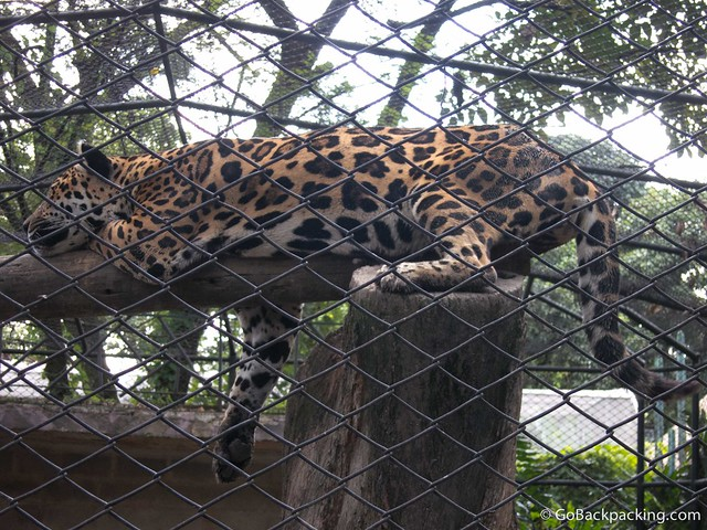 Sleepy jaguar