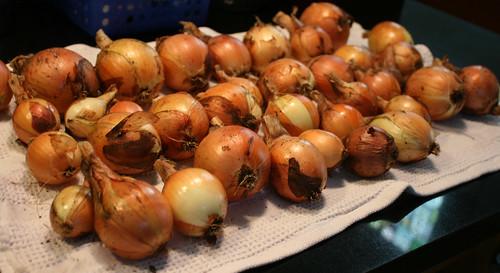 onions 004