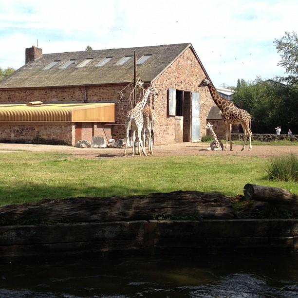 A family of #giraffes