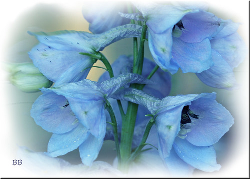 More Delphiniums