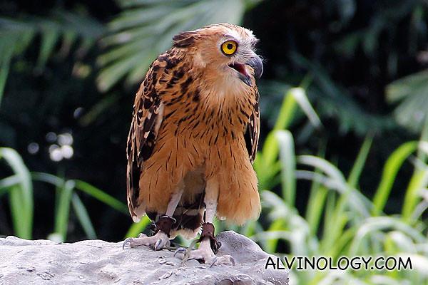 An owl howling