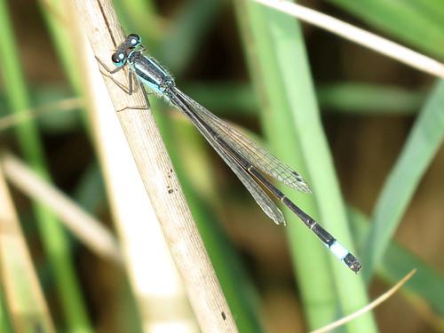 Blue-tailed Damselfly - Ischnura elegans