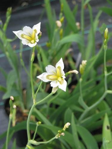 Iris dichotoma white