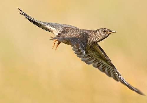 Flying!!   (Young Cuckoo)