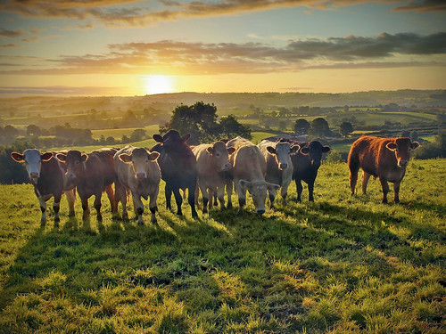 field animals sunrise canon shadows cattle farm beef sigma northernireland farmer agriculture 1770 ulster 60d glenanne