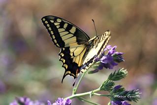 "Papilio machaon - ""Macaone"""