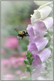 Foxgloves and the Bumblebee