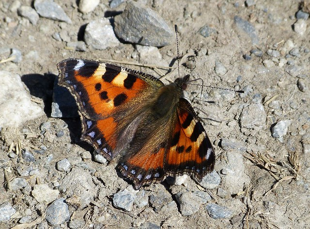 Small Tortoiseshell, Switzerland