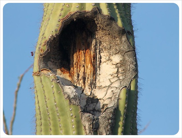 saguaro with hole