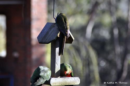 Australian King Parrots