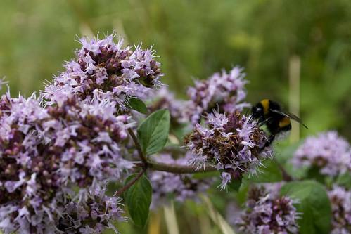bumblebee vosges marjolaine bourdon marjoram saintjulien