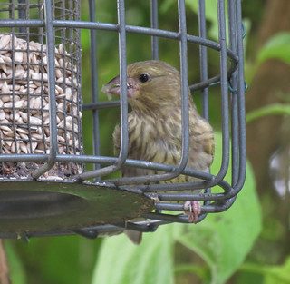 Young Greenfinch 40