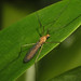 Small photo of Culicidae