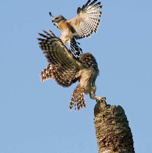 Hawk vs owl - photo#1