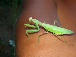 Mantidae, Hierodula transcaucasica, adult female