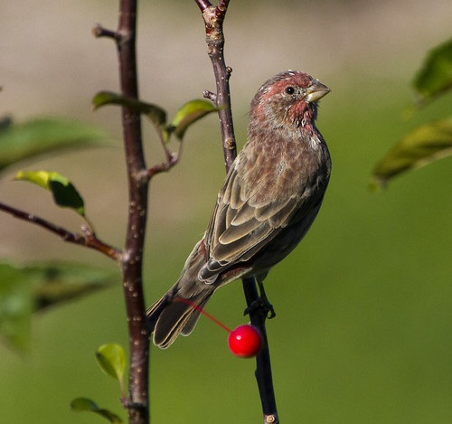House Finch for Backyardbirdingmonday by Ricky L. Jones Photography