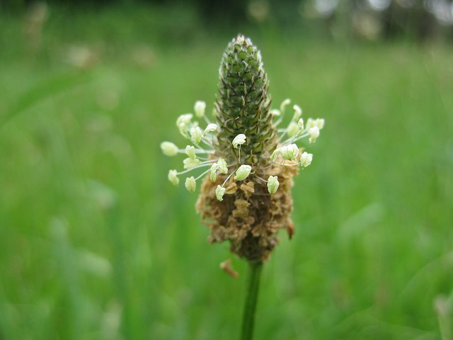 plantain (Plantago species)