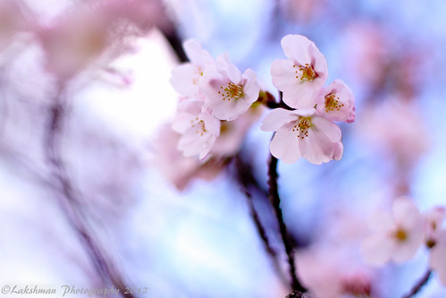Cherry Blossoms / Sakura - Standing strong
