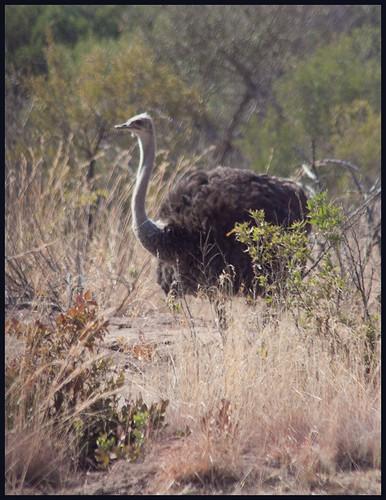 struisvogel by hans van egdom