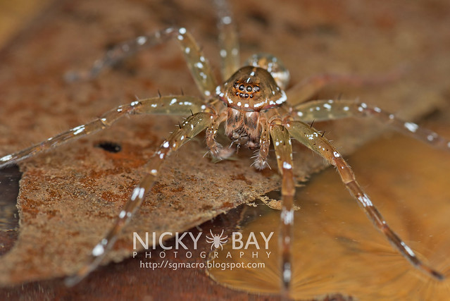 Fishing Spider (Dolomedes sp.) - DSC_2735