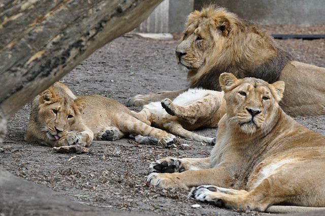 Asiatic Lion Family | Flickr - Photo Sharing!Lion Family
