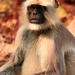 Common Langur (Bret Charman)