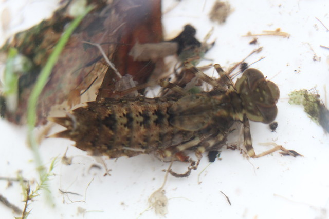 Brown Hawker Larva