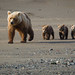 If I didn't know better I'd say they are all smiling!  Coastal brown bears at Lake Clark National Park and Preserve 6565d
