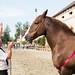 Concours départemental du cheval de trait breton à Lamballe Côtes d'Armor by Dicksy93