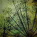 Day 202 — #366project — umbels by iPhotoArtist (Kimberly Post Rowe)