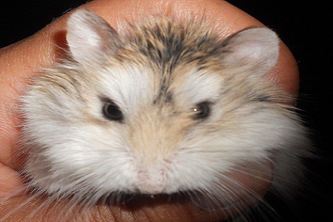 Robo Hamster Petsmart Male Robo Dwarf Hamster | Live