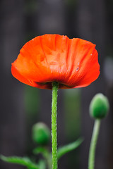 England's Poppy Flower